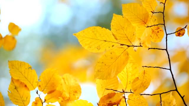 vidéos et rushes de feuilles d'automne - couleur saturée