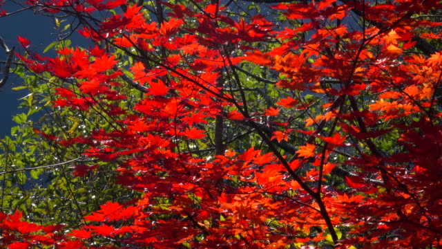 autumn leaves - maple leaf stock videos & royalty-free footage