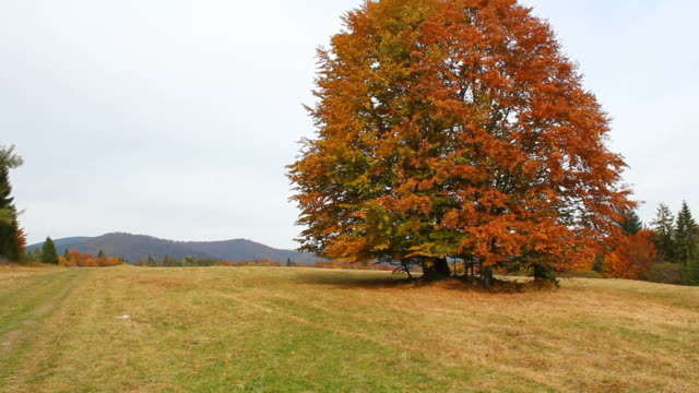 Autumn lonely beech tree in Beskid Mountains video