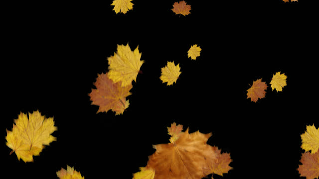 Autumn maple leafs falling with alpha channel and looped