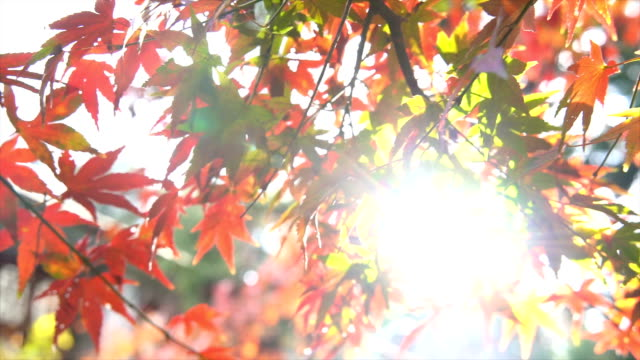 Autumn maple leaves in Lushan