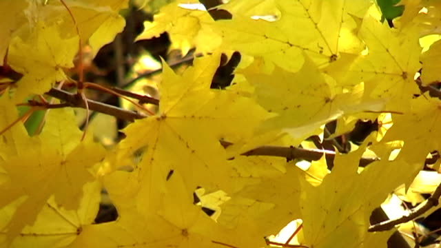 Autumn maple leaves in the breeze video