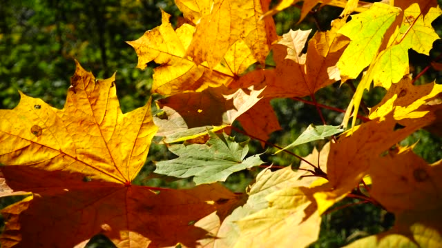 Autumn maple leaves in the woods.
