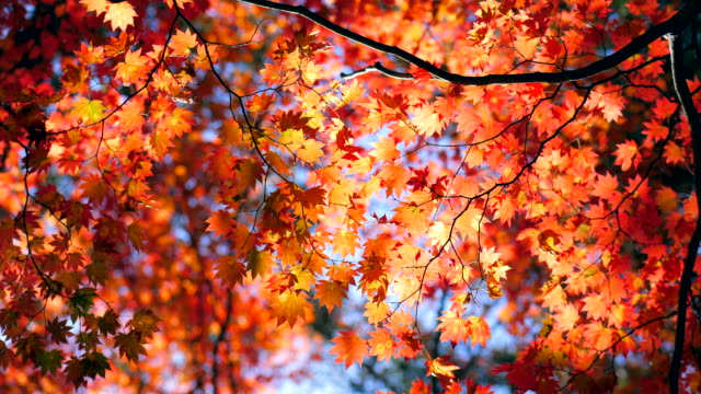 autumn maple leaves with blue sky - autumn video stock e b–roll