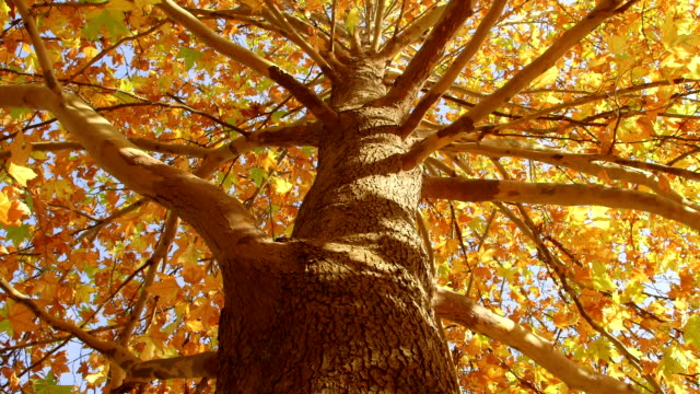 DOLLY: Autumn maple tree from the bottom video