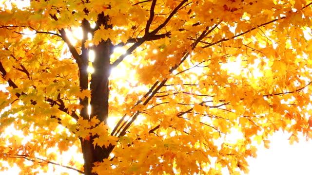Autumn Maple Tree video