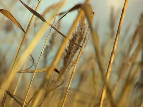 stockvideo's en b-roll-footage met autumn marsh grass - natuurgrond