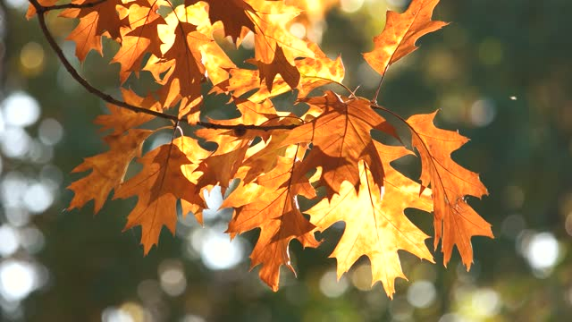 Autumn oak leaves, close up.