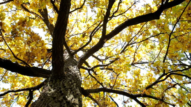 Autumn. Oak with yellow leaves. video