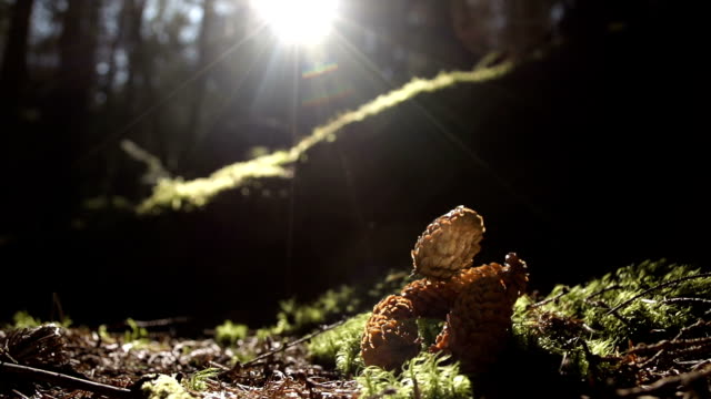 Autumn Pine Cone Falling From A Pine Tree In Forest video