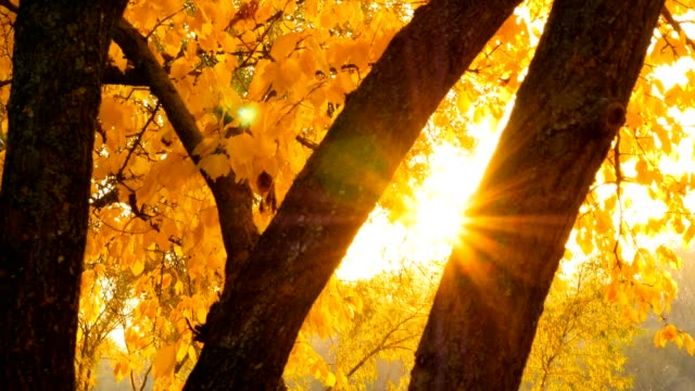Autumn rays of the sun through the yellow leaves of trees video