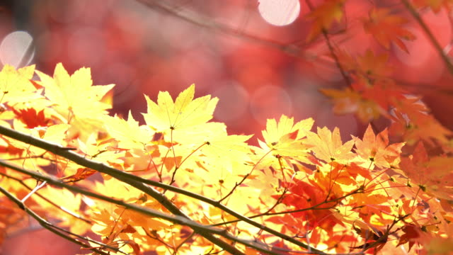 4K: Autumn Red Leave at Obara Park Toyota Nagoya Japan, Apple ProRes 422 (HQ) 3840x2160 Format 4K: Autumn Red Leave at Obara Park Toyota Nagoya Japan, Apple ProRes 422 (HQ) 3840x2160 Format maple leaf videos stock videos & royalty-free footage