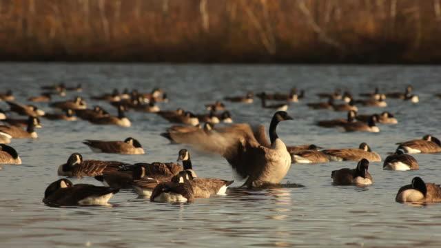 Autumn scene: Canadian geese video