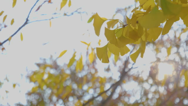 Autumn sky with yellow ginkgo leaves Autumn sky with yellow ginkgo leaves ginkgo tree stock videos & royalty-free footage