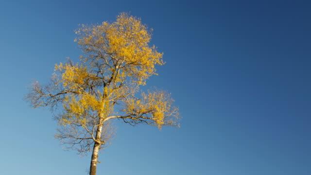 Bидео Autumn, the peak of one tree in the blue sky