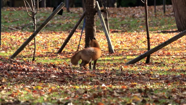 Autumn tint and Red fox video