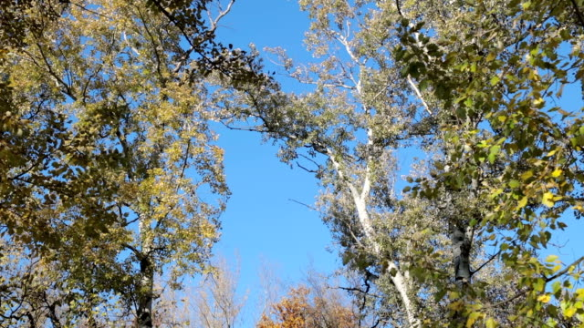 Autumn tree canopies against blue sky video