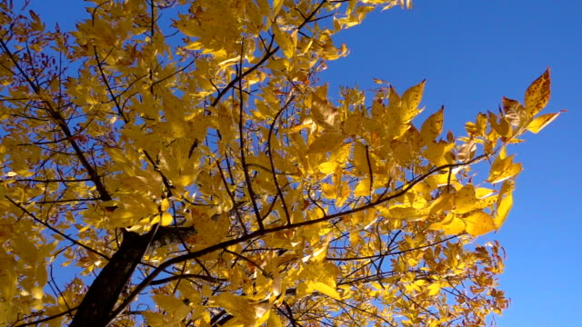 Autumn tree with golden leaves at blue sky video