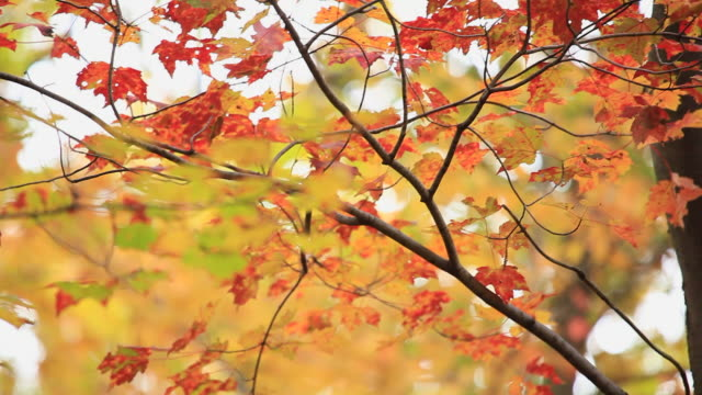 Autumn Trees and Leaves  saturated color stock videos & royalty-free footage