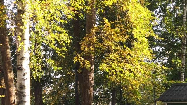 vídeos de stock e filmes b-roll de autumn trees. foliage swaying in the wind - oscilar