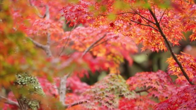 autumn - maple leaf stock videos & royalty-free footage