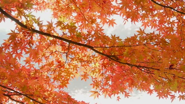 Autumn: Water reflection on red maple leaves video