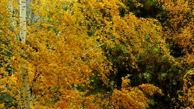 vídeos de stock, filmes e b-roll de vendaval de outono no parque em câmera lenta - bétula