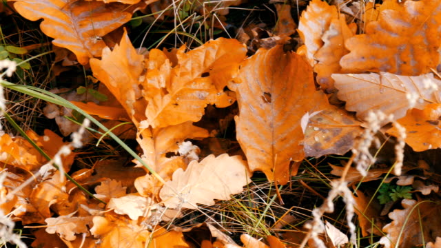 Autumn yellow fallen leaves on a ground in the forest video