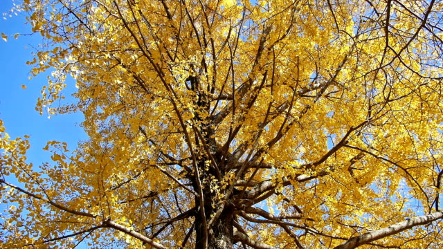 Autumn yellow ginkgo tree Yellow ginkgo leaves fall gently. Slow motion (original: 60 fps). ginkgo tree stock videos & royalty-free footage
