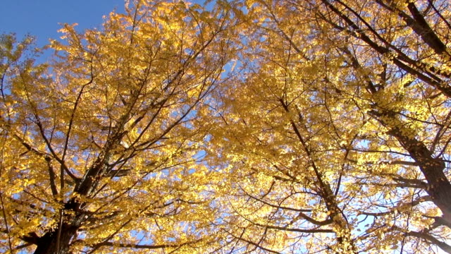Autumn yellow ginkgo trees in strong wind Ginkgo trees badly swing and leaves fall in strong wind. Scene of late afternoon in autumn.  ginkgo tree stock videos & royalty-free footage