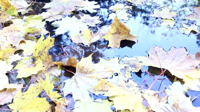autumn yellow leaves in puddle shining on sun, sunrays sunlights foliage background, sunbeams and autumn and steady and beams video