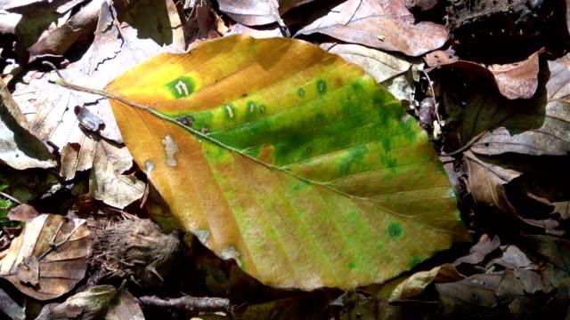 Autumnal beech leaf, autumn foliage, Spessart, forest, 4K Beech leaf in autumn foliage leaf vein stock videos & royalty-free footage