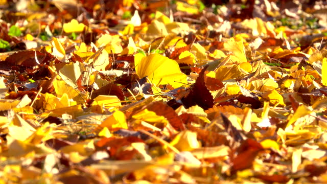 Autumnal leaf on the ground Autumnal leaf on the ground ginkgo tree stock videos & royalty-free footage