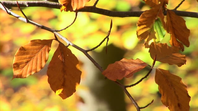 HD: Autumnal leaves HD1080i: Colourful leaves on a branch in the autumn.  笹 stock videos & royalty-free footage