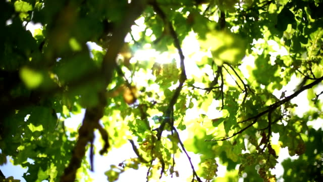 Autumnal Oak Leaves Late summer video