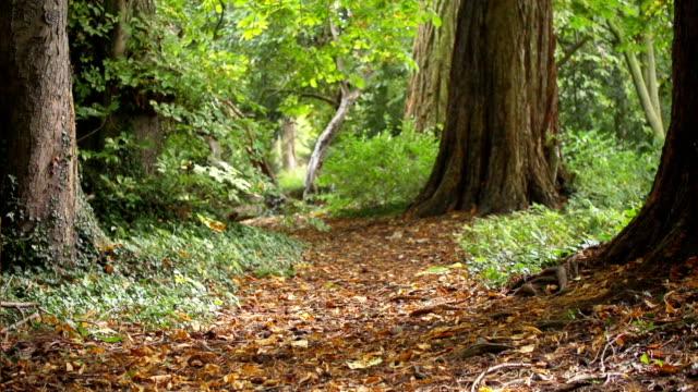 Autumnal Woodland Path video