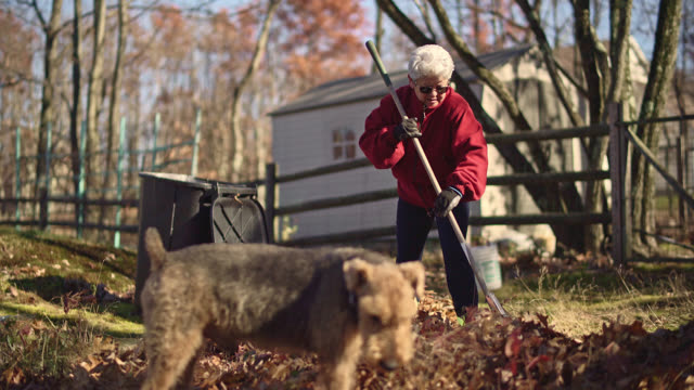 Autumn's cleanup on the backyard. Senior silver haired woman raking up fallen leaves together for removal, and her dog walking around.