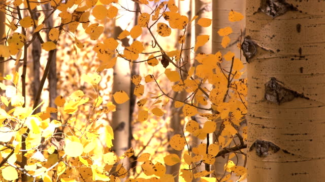 autumns yellow leaves video