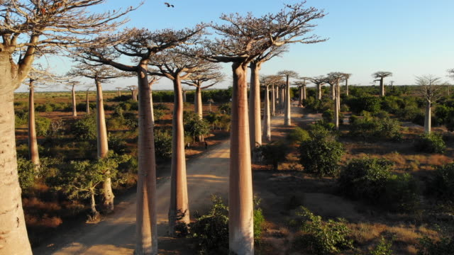 Avenue de Baobab, Madagascar video