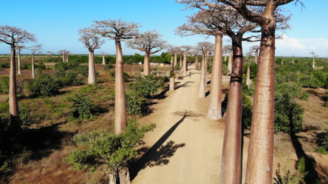 avenue de baobab, madagaskar - affenbrotbaum stock-videos und b-roll-filmmaterial
