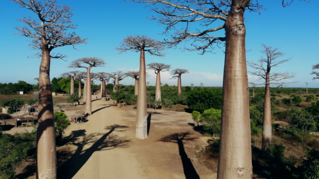 Avenue de Baobab, Madagascar Avenue de Baobab, Madagascar baobab tree stock videos & royalty-free footage