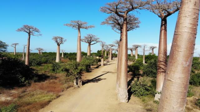 avenue de baobab, madagaskar - morondava bildbanksvideor och videomaterial från bakom kulisserna