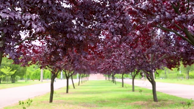 Avenue of trees with purple tree leaves on a sunny day. Prunus virginiana Shubert