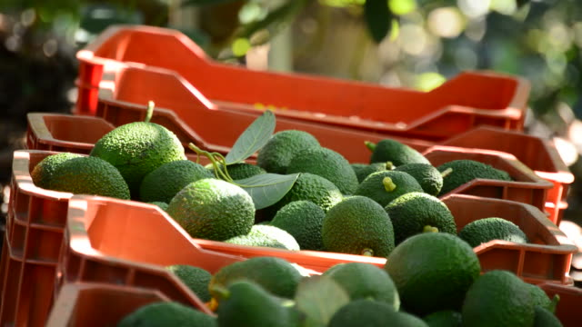 Avocado boxes in plantation with avocados fruit just harvested Avocado boxes in plantation with avocados fruit just harvested avocado stock videos & royalty-free footage