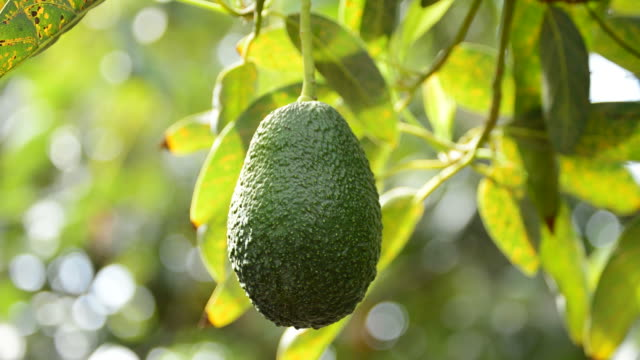 Avocado fruit hanging at branch of tree in a plantation in harvest video