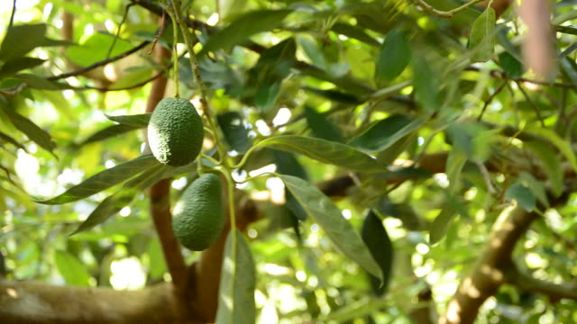 Avocado fruit hanging at branch of tree in a plantation video