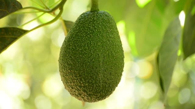 Avocado fruit hanging at branch of tree video