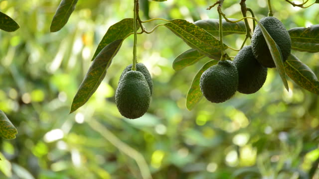 Avocado fruit hanging at tree in a plantation video