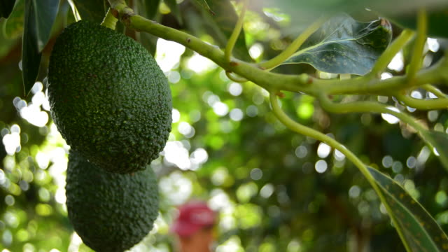 Avocado hass at harvest video