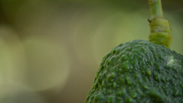 Avocado hass fruit hanging at tree video